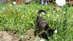 Η γούνινη μαύρη γάτα σκάβει το έδαφος στο ναυπηγείο με τα μπροστινά πόδια της απόθεμα βίντεο