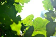Η γούρνα φωτός του ήλιου βγάζει φύλλα Στοκ Εικόνες