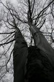 η γυμνή οξιά διακλαδίστηκε δέντρο Στοκ Εικόνες