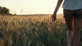 Η γυναίκα αγγίζει τα αυτιά της σίκαλης στον τομέα στο χρόνο ηλιοβασιλέματος, πίσω άποψη κινηματογραφήσεων σε πρώτο πλάνο απόθεμα βίντεο