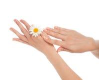 Η γυναίκα γαλλικά τα χέρια με το φρέσκο camomile λουλούδι ι μαργαριτών Στοκ εικόνες με δικαίωμα ελεύθερης χρήσης