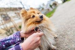 Η γυναίκα δένει το γλυκό τσοπανόσκυλο Shetland της στοκ εικόνες