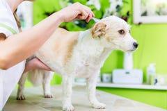 Η γυναίκα εξετάζει το σκυλί για τον ψύλλο στο κατοικίδιο ζώο groomer στοκ φωτογραφίες