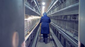 Η γυναίκα εργαζόμενος περπατά κατά μήκος της δυνατότητας πουλερικό-σπιτιών και κυλά ένα stepladder απόθεμα βίντεο