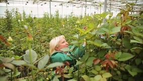 Η γυναίκα κηπουρών αυξάνεται και φροντίζει για τα τριαντάφυλλα στο θερμοκήπιο φιλμ μικρού μήκους