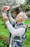 Η γυναίκα κόβει έναν κλάδο σε ένα Apple-δέντρο στον κήπο Στοκ εικόνα με δικαίωμα ελεύθερης χρήσης