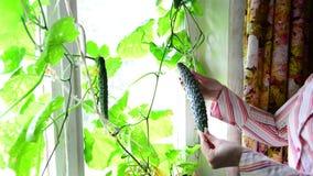 Η γυναίκα μαδά ένα αγγούρι στο παράθυρο στο εσωτερικό απόθεμα βίντεο