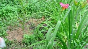 Η γυναίκα μαδά τη χλόη στον κήπο λουλουδιών απόθεμα βίντεο