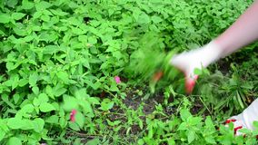 Η γυναίκα μαδά τη χλόη στον κήπο φιλμ μικρού μήκους