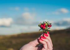 Η γυναίκα με τα φωτεινά καρφιά κρατά μια ανθοδέσμη των κόκκινων μούρων cowberry στοκ εικόνες
