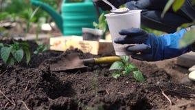 Η γυναίκα παραδίδει τα μπλε λαστιχένια γάντια φυτεύοντας τα σπορόφυτα στο χώμα στον κήπο κατωφλιών κοντά στο ιδιωτικό σπίτι φιλμ μικρού μήκους