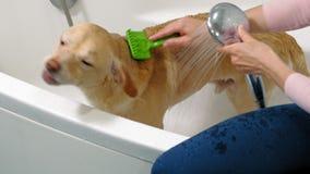 Η γυναίκα πλένει ένα σκυλί στο λουτρό Προσοχή της Pet απόθεμα βίντεο