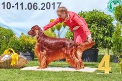 Η γυναίκα που παρουσιάζει τον ιρλανδικό ρυθμιστή στο εθνικό σκυλί 31$ου δυτικού Pomeranian παρουσιάζει Στοκ Εικόνα