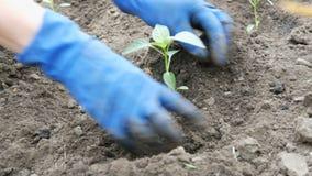 Η γυναίκα σκάβει στο έδαφος μια πράσινη πομπή του γλυκού βουλγαρικού πιπεριού φιλμ μικρού μήκους
