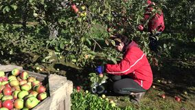 Η γυναίκα στα κόκκινα ενδύματα gumboots και τα γάντια συλλέγουν τα ώριμα φρούτα το φθινόπωρο 4K απόθεμα βίντεο