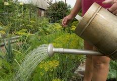 Η γυναίκα στα σορτς και η μπλούζα που ποτίζει τις φυτικές εγκαταστάσεις στον κήπο σας από ένα παλαιό πότισμα μπορούν Στοκ εικόνα με δικαίωμα ελεύθερης χρήσης