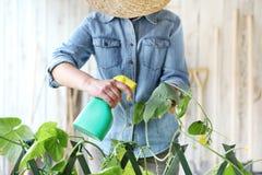 Η γυναίκα στο φυτικό κήπο ψεκάζει το φυτοφάρμακο στο φύλλο του φυτού με στοκ εικόνες με δικαίωμα ελεύθερης χρήσης