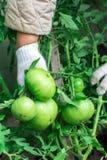 Η γυναίκα συγκεντρώνει μια συγκομιδή των ντοματών Πολύ μεγάλες ντομάτες Πολύ νόστιμες βιταμίνες Στοκ Φωτογραφίες