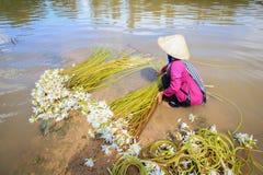 Η γυναίκα συλλέγει τα λουλούδια κρίνων νερού (Nymphaea) που προετοιμάζονται στο ρόλο για την πώληση Στοκ Φωτογραφίες
