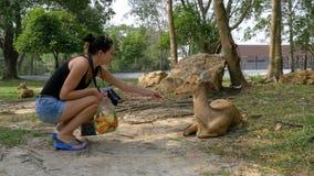 Η γυναίκα ταΐζει τα ελάφια στο Khao Kheow ανοικτός ζωολογικός κήπος Ταϊλάνδη φιλμ μικρού μήκους