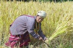 Η γυναίκα της λευκιάς φυλής λόφων της Karen συγκομίζει το ρύζι στον τομέα σε Chiang Mai, Ταϊλάνδη Στοκ Εικόνα
