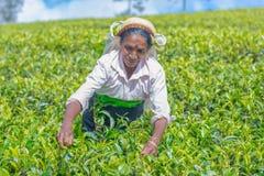 Η γυναίκα του Ταμίλ που εργάζεται στο κτήμα Dambetenna σπάζει τα φύλλα τσαγιού Στοκ Εικόνα