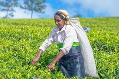 Η γυναίκα του Ταμίλ που εργάζεται στο κτήμα Dambetenna σπάζει τα φύλλα τσαγιού Στοκ Φωτογραφίες