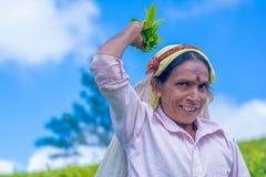Η γυναίκα του Ταμίλ που εργάζεται στο κτήμα Dambetenna σπάζει τα φύλλα τσαγιού Στοκ Εικόνες