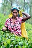 Η γυναίκα του Ταμίλ από τη Σρι Λάνκα σπάζει τα φύλλα τσαγιού Στοκ φωτογραφία με δικαίωμα ελεύθερης χρήσης