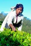 Η γυναίκα του Ταμίλ από τη Σρι Λάνκα σπάζει τα φύλλα τσαγιού Στοκ Φωτογραφία