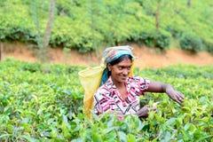 Η γυναίκα του Ταμίλ από τη Σρι Λάνκα σπάζει τα φύλλα τσαγιού Στοκ Φωτογραφίες