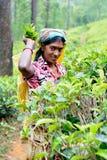 Η γυναίκα του Ταμίλ από τη Σρι Λάνκα σπάζει τα φύλλα τσαγιού Στοκ φωτογραφίες με δικαίωμα ελεύθερης χρήσης
