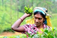 Η γυναίκα του Ταμίλ από τη Σρι Λάνκα σπάζει τα φύλλα τσαγιού Στοκ εικόνα με δικαίωμα ελεύθερης χρήσης