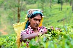 Η γυναίκα του Ταμίλ από τη Σρι Λάνκα σπάζει τα φύλλα τσαγιού Στοκ Εικόνα