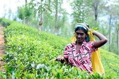 Η γυναίκα του Ταμίλ από τη Σρι Λάνκα σπάζει τα φύλλα τσαγιού Στοκ εικόνες με δικαίωμα ελεύθερης χρήσης