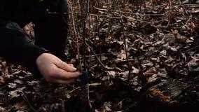 Η γυναίκα τυλίγει ένα δέντρο εμβολίου με μια μονώνοντας ταινία στον κήπο για να θέσει υπό κράτηση την υγρασία σε το στην κινηματο απόθεμα βίντεο