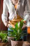Η γυναίκα φροντίζει ένα εσωτερικό spathiphyllum λουλουδιών Στοκ Εικόνες