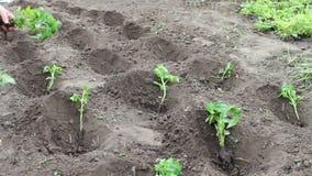Η γυναίκα φυτεύει τις νέες τοματιές στον κήπο, τις ποτίζει και σκάβει στη γη απόθεμα βίντεο