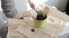 Η γυναίκα φυτεύει houseplant φιλμ μικρού μήκους