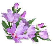 η γωνία ανθίζει hibiscus Στοκ Εικόνα