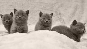 Η δέσμη των γατακιών που κάθονται σε ένα λευκό ρίχνει, απομονωμένο πορτρέτο απόθεμα βίντεο