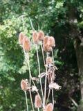 Η δέσμη teasel των κεφαλιών έξω από τα λουλούδια ξεραίνει την ξηρά καφετιά εμβύθιση μίσχων Στοκ Φωτογραφίες