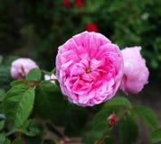 Η διάσημη ρόδινη Rosa Centifolia, Προβηγκία αυξήθηκε ή το λάχανο αυξήθηκε είναι ένα υβρίδιο αυξήθηκε αναπτυγμένος από το ολλανδικ στοκ φωτογραφίες με δικαίωμα ελεύθερης χρήσης
