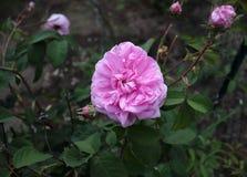 Η διάσημη ρόδινη Rosa Centifolia, Προβηγκία αυξήθηκε ή το λάχανο αυξήθηκε είναι ένα υβρίδιο αυξήθηκε αναπτυγμένος από το ολλανδικ στοκ εικόνες με δικαίωμα ελεύθερης χρήσης