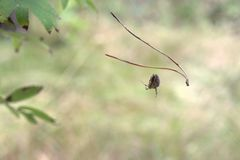 Η διαγώνια αράχνη Orbweaver βγάζει έξυπνα τον ιστό αράχνης από το himsel Στοκ εικόνα με δικαίωμα ελεύθερης χρήσης