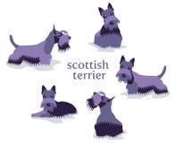 Η διανυσματική απεικόνιση του σκωτσέζικου τεριέ σε διαφορετικό θέτει Απεικόνιση αποθεμάτων