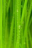 η δροσιά ρίχνει τη φρέσκια χλόη Στοκ Εικόνες