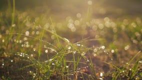 η δροσιά ρίχνει τη χλόη πράσιν απόθεμα βίντεο