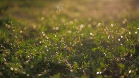 η δροσιά ρίχνει τη χλόη πράσιν φιλμ μικρού μήκους