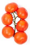 η δροσιά ρίχνει τις φρέσκες ντομάτες Στοκ Φωτογραφίες